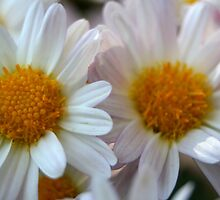 Hazy Day Daisies by taiche