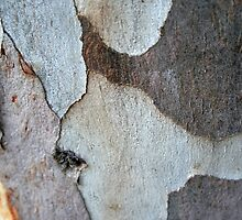 Trunk Of A Eucalyptus Tree by taiche