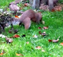 my wee squirrel burying  walnuts  for christmas by margaret hanks