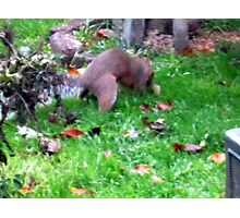my wee squirrel burying  walnuts  for christmas Photographic Print