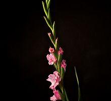 Gladiolus by Jeffrey  Sinnock
