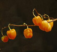 Midget Pumpkins by Kenneth Hoffman