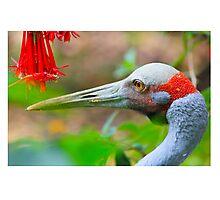 A flower for you! Brolga, Crane, NZ Photographic Print