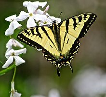 Tiger Swallowtail by Peter Martsolf