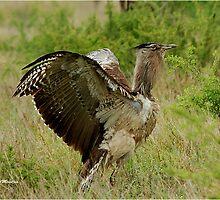 YES, I AM THE LARGEST FLYING BIRD! ~KORI BUSTARD – Ardeotis kori – GOMPOU  by Magriet Meintjes