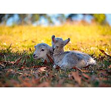 Twin Lambs Photographic Print
