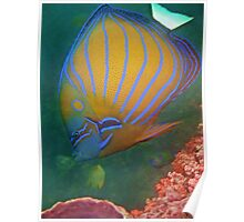 BLUE RINGED ANGELFISH Poster