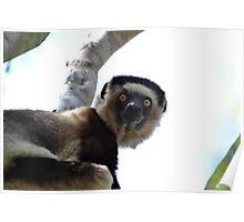 Verreaux's Sifaka Poster