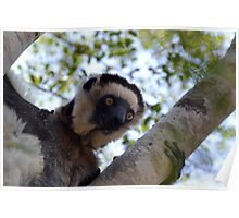 I'm A Verreaux's Sifaka Poster