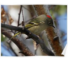 Ruby Crowned Kinglet Poster