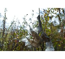 Milkweed Surviving Photographic Print