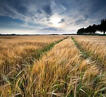 Wheat field by Olha Rohulya