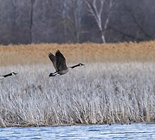 A Pair of Geese Leaving the Marsh by Thomas Young
