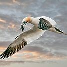 Gannet with seaweed by Tarrby