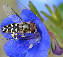 Hoverfly Feeding by relayer51