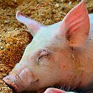 Sleepy Pig by Bami