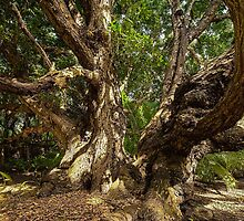 The Old Tree at Bobs Folly by Karen Willshaw
