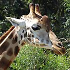 Giraffe  by Mitch  McCourt