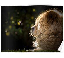 Sunbathing chow dog Poster