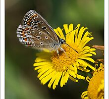 Common Blue (Polommatus icarus) by DonMc