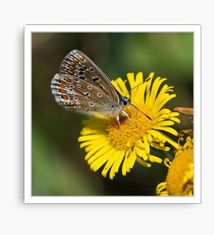 Common Blue (Polommatus icarus) Canvas Print
