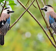 Two Eurasian Jays by Nika Lerman