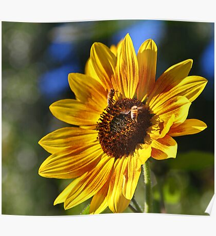 Small Sunflower Poster