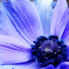 Autumn Anemone by lisa1970