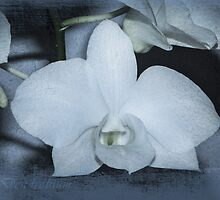 Dendrobium Ice White by Amar-Images