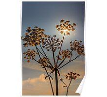 Sunlight through plant seedhead Poster