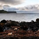 Sheep eating seaweed on a beach on Skye by Richard Flint