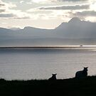 Sheep return to graze - Skye by Richard Flint
