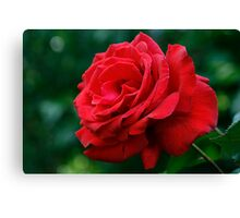 First Rose Of The Season Canvas Print