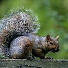 Squirrel by Jason Dymock