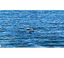 Pelican  in Flight Photographic Print