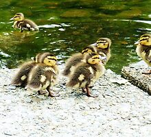 Darling Ducklings by Dani LaBerge