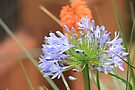 It's Agapanthus time! by Maree Clarkson