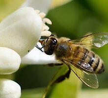 Bee on an Orange Blossom by The Photo  Nursery