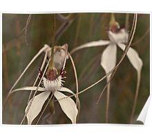 Splendid spider orchids Poster