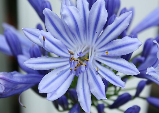 Agapanthus Close-Up by AnnDixon