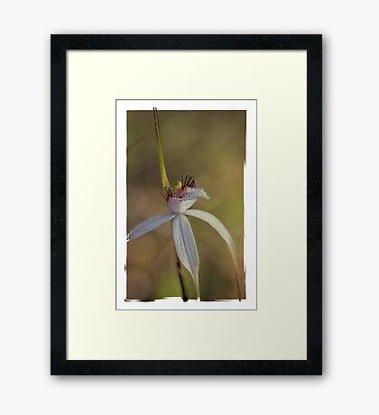 caladenia splendens, Framed Print
