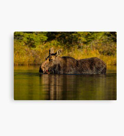 Feeding Moose Canvas Print
