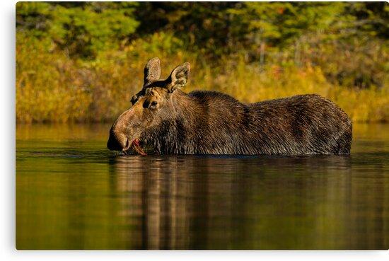 Feeding Moose by Daniel  Parent