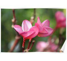 Pink Frangipanis Poster