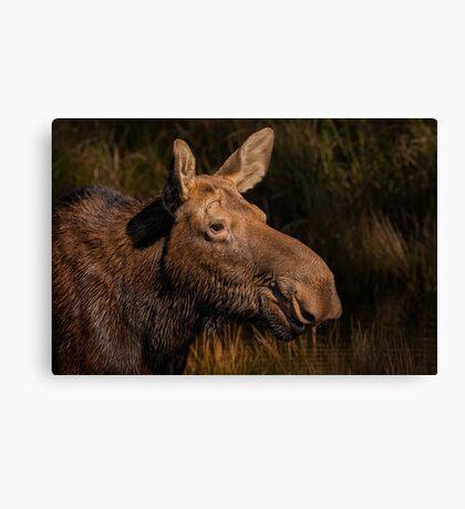 Moose portrait Canvas Print