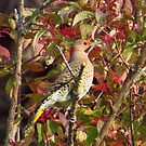 The Northern Flicker by lorilee