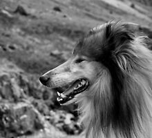 Rough Collie Portrait by Lou Wilson