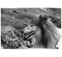 Rough Collie Portrait Poster