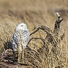 Hiding in the Grass -- Snowy Owl by Tom Talbott