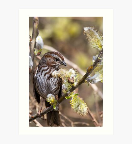 Song Sparrow in Willow Art Print